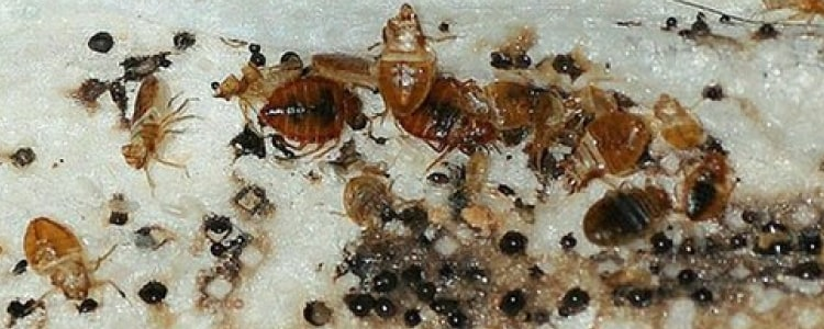 bed bug control bondi