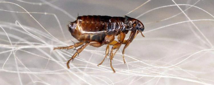 flea control bondi